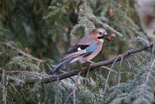Eurasian Jay Carrying Seeds In Beak On Branch Fototapet