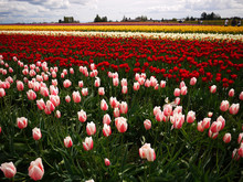 The Skagit Valley Tulip Festiv...