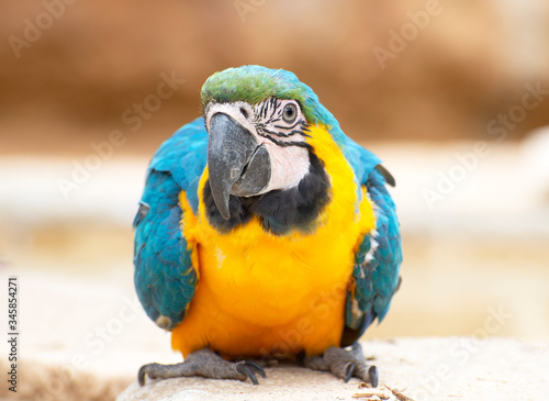 Blue-and-yellow macaw on the floor Canvas Print