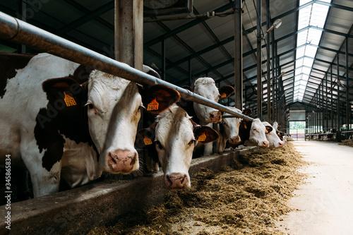 portrait of a white-brown cow in a modern barn near stall Slika na platnu