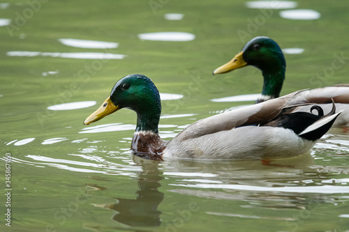 Two male mallards swimming on a river in springtime Canvas Print