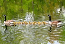 Canada Geese Swimming With Goslings In Lake