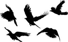 Group Of Five Black Crow Silho...