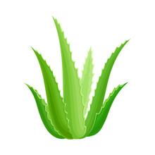 Aloe Vera Rosette Of Large, Thick, Fleshy Leaves Vector Illustration