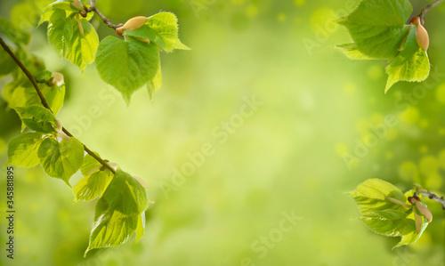 Fototapeta Branches of lime tree bursting forth in spring. Spring nature background obraz na płótnie