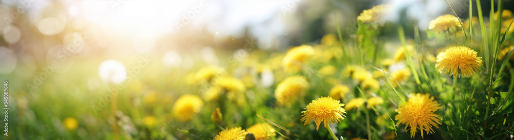 Fototapeta Many yellow dandelion flowers on meadow in nature in summer close-up macro in rays of sunlight at sunset sunrise. Bright summer landscape panorama, colorful artistic image, ultra wide banner format.
