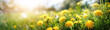 Many yellow dandelion flowers on meadow in nature in summer close-up macro in rays of sunlight at sunset sunrise. Bright summer landscape panorama, colorful artistic image, ultra wide banner format.