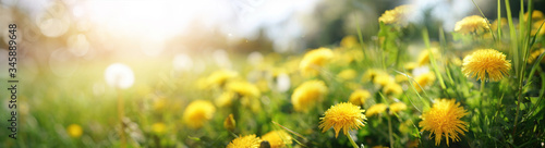 Fototapeta Many yellow dandelion flowers on meadow in nature in summer close-up macro in rays of sunlight at sunset sunrise. Bright summer landscape panorama, colorful artistic image, ultra wide banner format. obraz