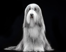 Bearded Collie, Dog, Portrait,...