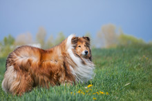 Beautiful Long Haired Fluffy R...