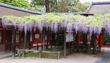 Japanese Wisteria Inside Shint...