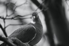 Pigeon On A Branch In A Tree.