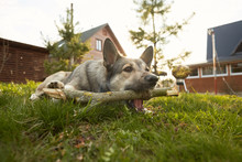 A Dog Chewing And Bitting A Wooden Stick In The Country Yard