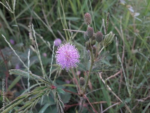 Fotografie, Obraz Flower from grass in indonesia called putri malu, bunga putri malu