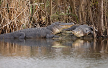 A Pair Of American Alligators ...