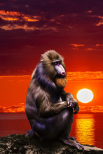 Mandrill Monkey  Portrait  At ...