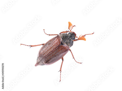 Canvas-taulu chafer beetle with water droplets on a white background