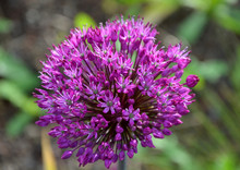 Allium Giganteum It Is A Peren...
