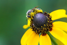 A Native Bee Collects Pollen From A Wildflower.
