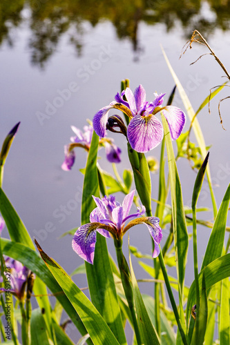 Fototapeta Blue flag iris growing wild along  lake shore in the Catskill Mountains of NY obraz na płótnie