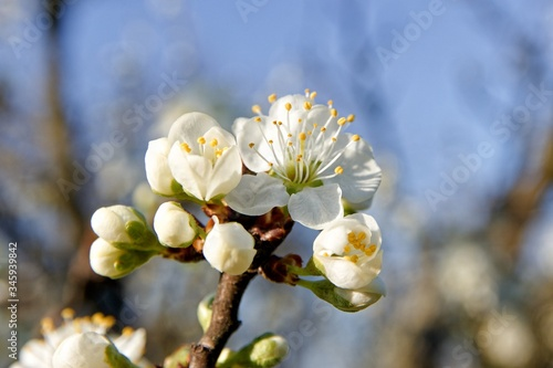 Photo Macro photo of plum tree blossoming twig
