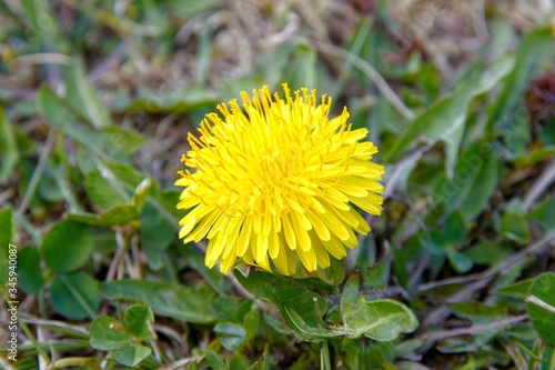 Photo Macro photo of blooming dandelion