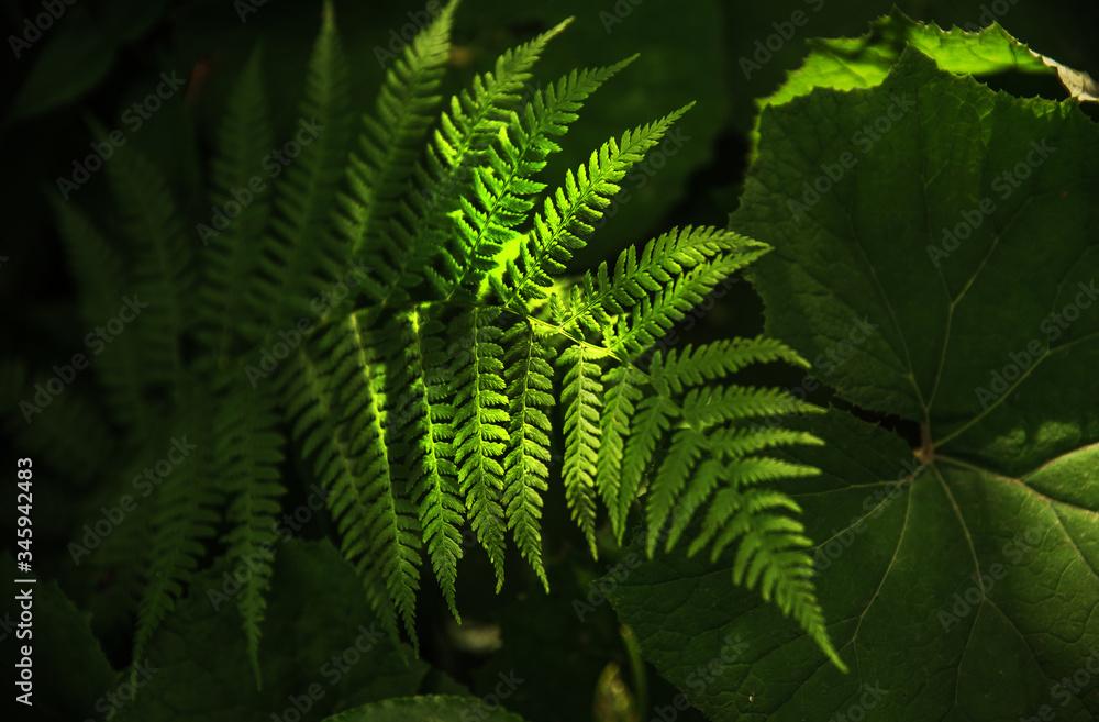 Fototapeta liść paproci w lesie