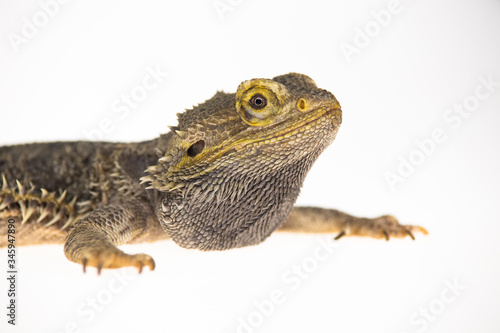 Photo Lizards Bearded agama or Pogona vitticeps isolated at white background in studio