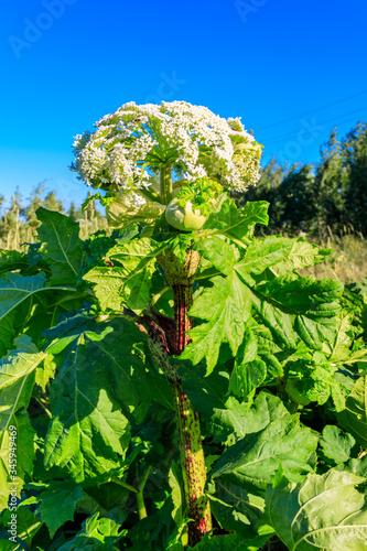 Photo Sosnowsky's hogweed (Heracleum sosnowskyi) is a dangerous herbaceous flowering plant