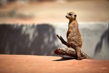 Meerkat Sitting On A Branch Ob...