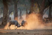 Eland Antelope, Taurotragus Or...