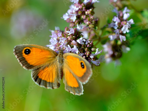 Valokuva Closeup Pyronia butterfly feeding on flower seen from above