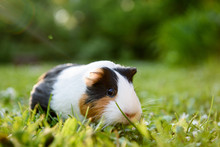 Guinea Pig Eating Grass In A M...