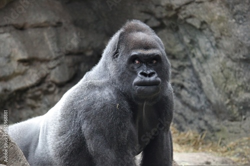 Gorilla from lowlands (western lowlands Gorilla) from central Africa stock photo Canvas Print
