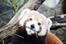 Red Panda Is And Endangered Ma...