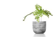 Adiantum Raddianum Plant In Fl...