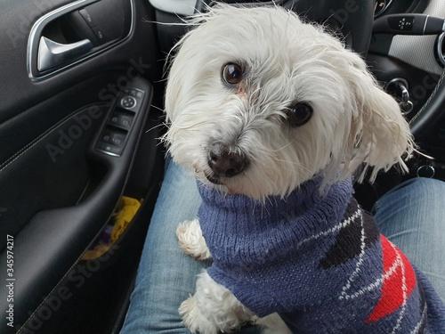 puppy in car, bichon maltes Wallpaper Mural