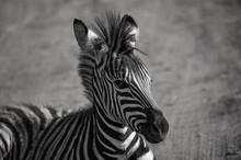 Zebra Portrait At Tala Game Re...