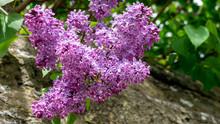 Close Up Of A Butterfly Bush, ...