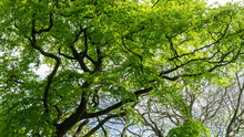 Upward View Of A Vivid Green Tree Canopy Featuring Lush Green Leaves, Brown Vein Like Tree Trunks And Branches Plus Warm Yellow Sunlight Filtering Through The Top Of The Tree Line.