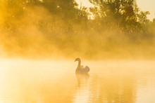 Swan Swimming In A Misty Lake ...