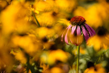 Purple Coneflower Stands Alone Among The Yellow Prairie Coneflowers On This Mid--September Morning Within The Forest Beach Migratory Preserve Near Belgium, Wisconsin
