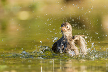 Common Starling Bathing In A C...