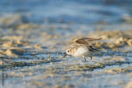 Valokuva One-legged Little Stint feeding on the edge of a pond