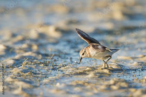 Little Stint feeding on the edge of a pond Canvas-taulu