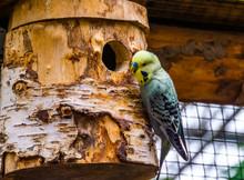Closeup Portrait Of A Yellow Budgie Parakeet On Its Birdhouse, Tropical Bird Specie From Australia