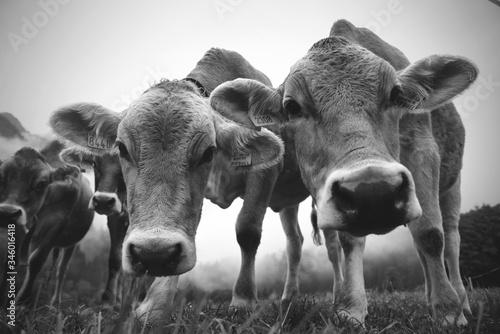 Photo mucche bianco e nero montagna poster montagna trentino val di sole