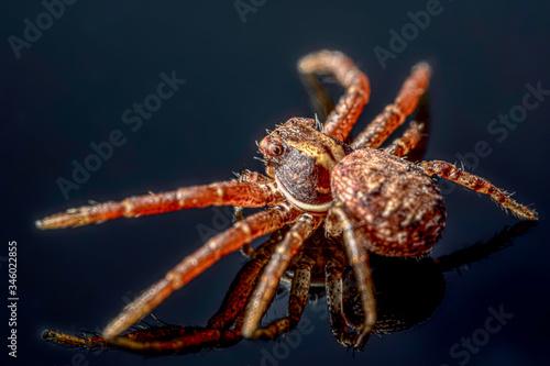 Photo The common crab spider on black background ( Xysticus cristatus )- macro, closeu