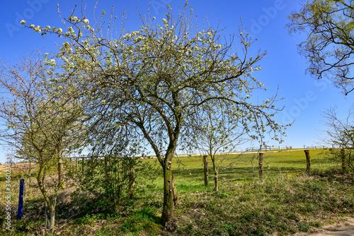 Photo Apfelbaum, Wilder Apfelbaum, Wiese, Feld, Streuobst,Frühling, Blüte, schön, roma