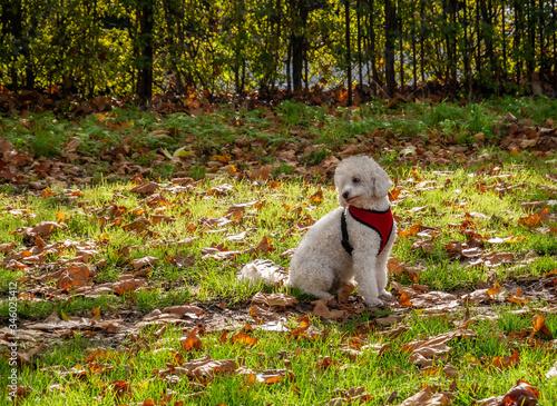 Photo Cute white bichon pet outdoors in fall season